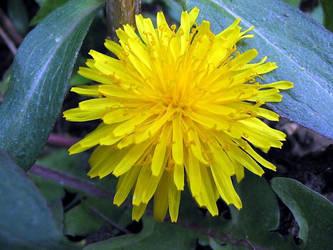 dandelion by abfall