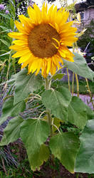 Sunflower 1 by Girl-Interrupted-9