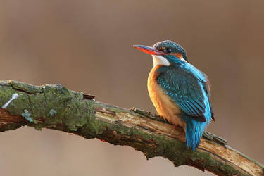Spring kingfisher-female by Holasek