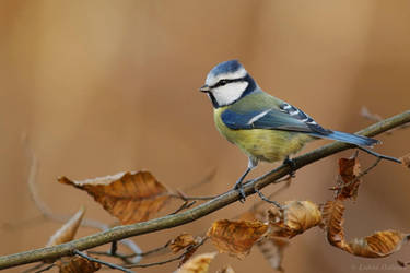 Blue tit by Holasek