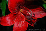 Red Petals by dolphingirl0113