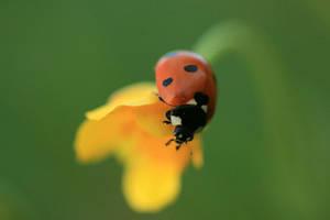 Ladybird on the top by Romanara