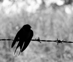 Swallow Silhouette by dramaticpeanut