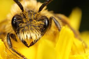 Miner bee - honey on his eye by macrojunkie
