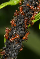 Red ants farming aphids by macrojunkie