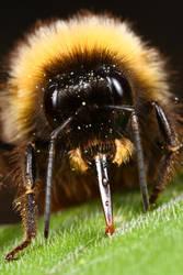 bee series_5 by macrojunkie