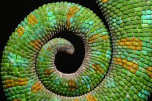Chameleon tail by macrojunkie