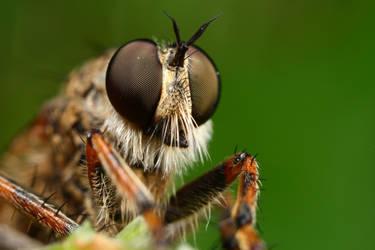 robberfly series 1 by macrojunkie