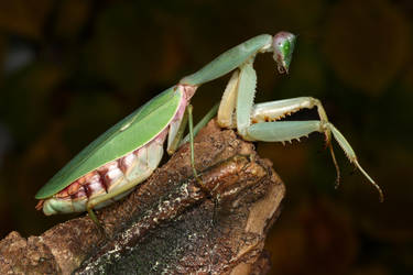 shield mantis body shots 1 by macrojunkie