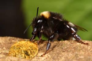bumble bee 5 by macrojunkie