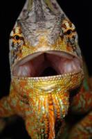 Yemen chameleon 05 by macrojunkie