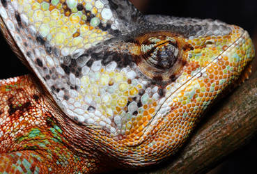 'The sleeping chameleon' by macrojunkie