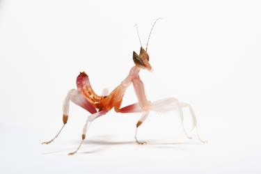 'Orchid mantis 2nd instar' by macrojunkie