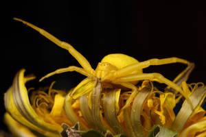 'crab spider series' by macrojunkie