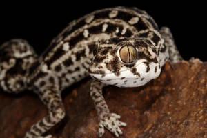 viper gecko by macrojunkie