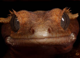 gecko mug shot by macrojunkie