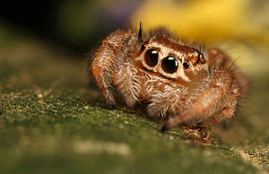 jumping spider 10 by macrojunkie