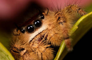 jumping spider stack by macrojunkie