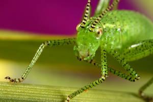Back yard bush cricket 2 by macrojunkie