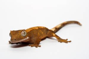 gecko 1 by macrojunkie