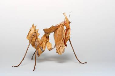 devil mantis 001 by macrojunkie