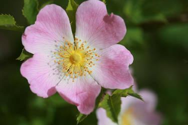 Pink Rose by Darjeell