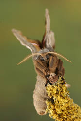 Polyphemus moth front 1 by bugalirious-STOCK