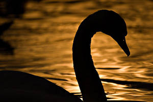 Silhouetted Swan by mole2k