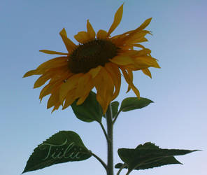 Sunflower 3 by Tiilii