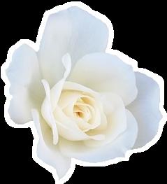 + F2U + White Rose Pagedoll by RariDecor