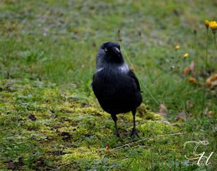 Crow by Saraldor