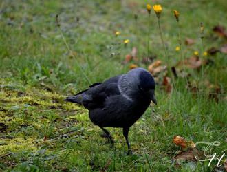 Crow II by Saraldor
