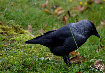Crow III by Saraldor