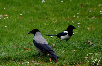 Crow and Magpie by Saraldor