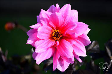 Flower I by Saraldor