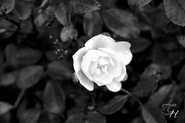 Blomma Black and White by Saraldor
