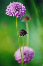 Purple Petals by froggy5