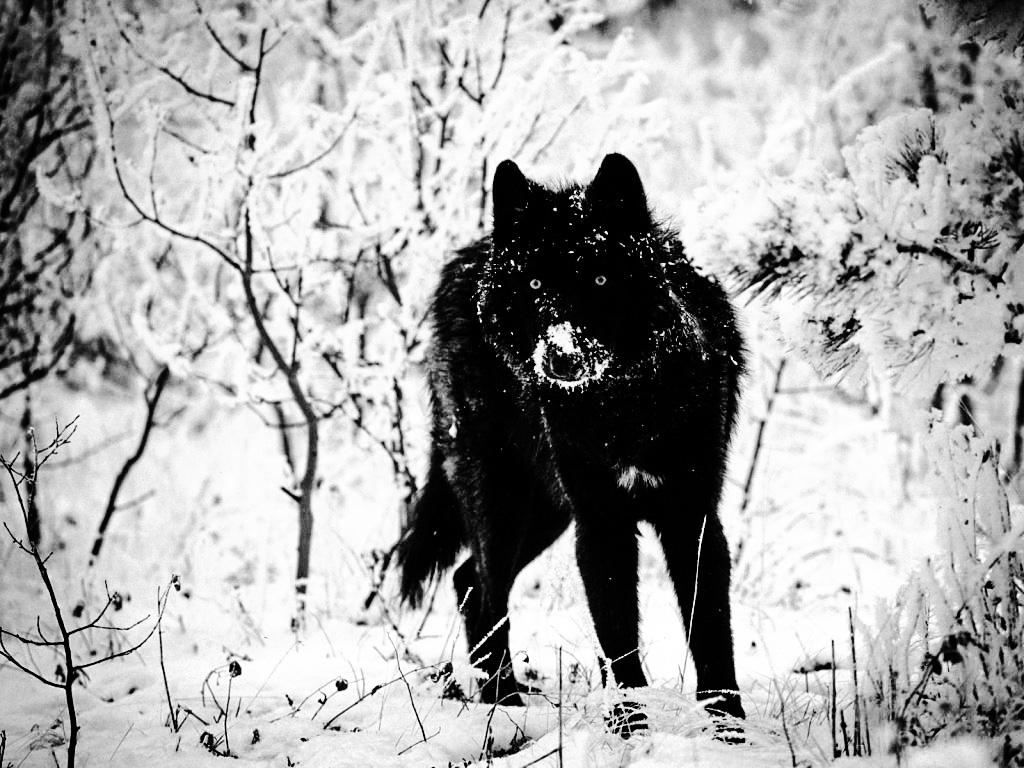 Black-wolf-wallpaper By YassyCat On DeviantArt