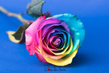 Rose Multicolore By Megafrisette On Deviantart