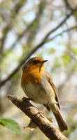 Robin by CathM