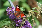 Peacock Butterfly in budlea by Singingnaturist