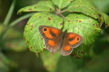 Gatekeeper Butterfly by Singingnaturist