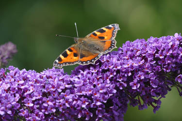 Small tortoiseshell butterfly on a buddleia bush by Singingnaturist