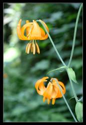 Wild Lily by khammond