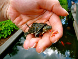 baby turtle. by noehchen