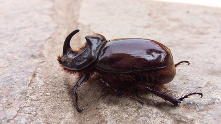 Rhinoceros beetle by FrancesArcher
