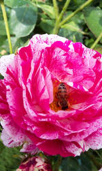 Bee in a rose by FrancesArcher