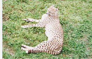 Resting Cheetah by Anna-aurion