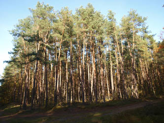 pine trees by Finsternis-stock