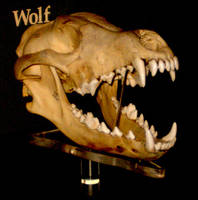 Wolf skull by blademalfoy